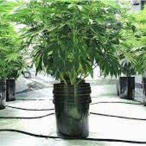 how to grow hydroponic marijuana