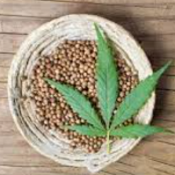 cannabis plant from seed
