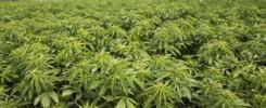 many uses of hemp