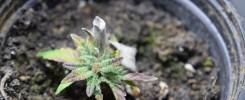 Moldy Weed