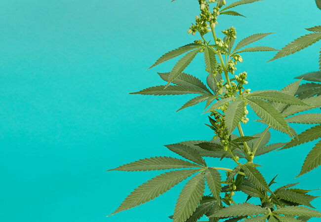what to do with male marijuana plants