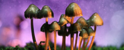 What are shrooms